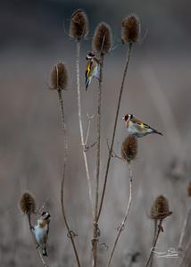 Goldfinch Tweet Up