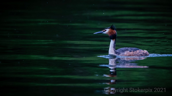 Grebe in May