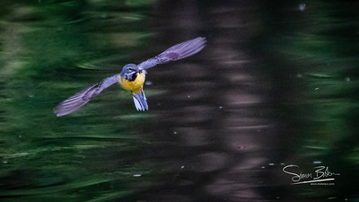 Hovering Wagtail