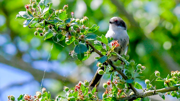 Long Tailed Tit 05