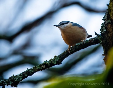 Nuthatch the right way up !