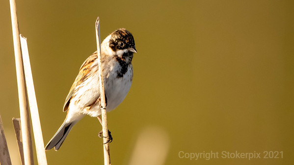 Reed Bunting in its prime