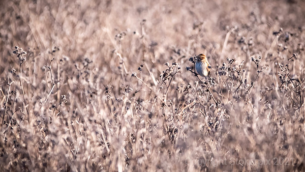 Reed Bunting living up to its name