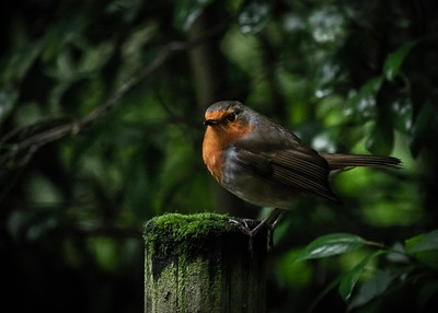 Withymead Robin