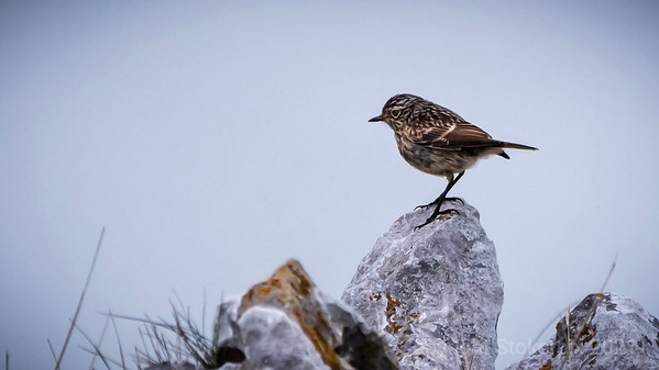 Stonechat on the Rocks