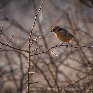 Stonechat Hunting Session