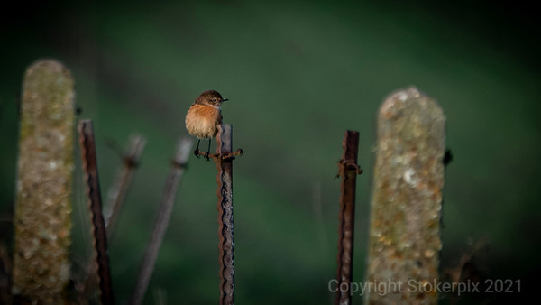 Stonechat in Hareland