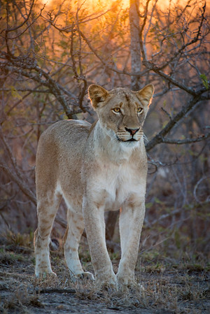 Young Female Lion, Kruger NP South Africa