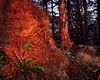 Ancient Sitka Forest, Olympic Peninsula, WA