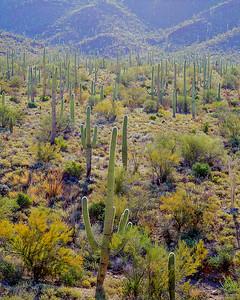 Saguaro Forest sharpest + 5 sat Final