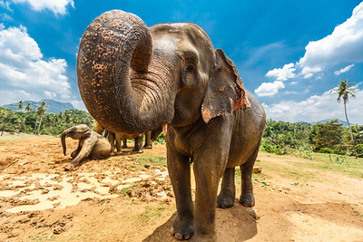 A Sri Lankan elephant (Elephas maximus maximus) at a sanctuary in Sri Lanka