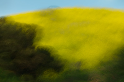 Oaks and Mustard grass with motion blur, Laguna Hills, CA.