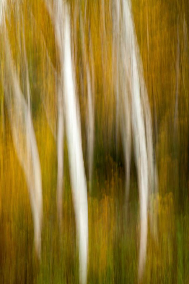 Vertical blur on Autumn Aspen. Eastern Sierra, CA.