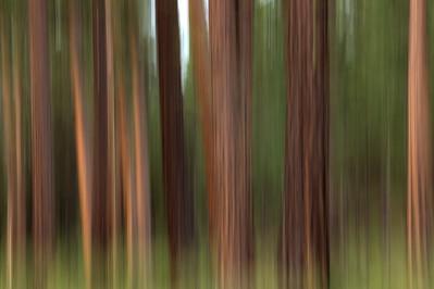 Ponderosa Pines. Bend, Oregon