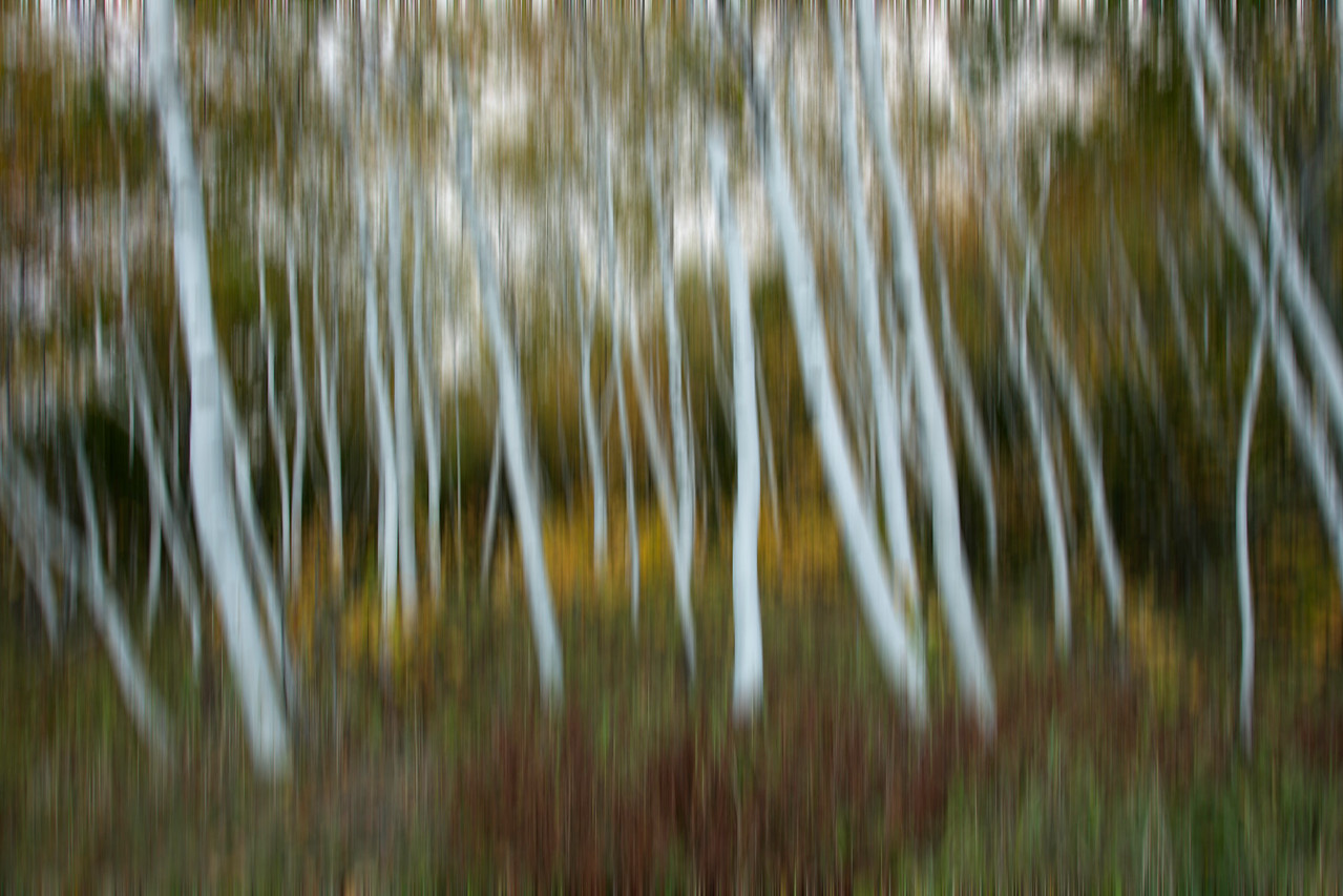White Bark Birch with camera blur, Acadia Me.