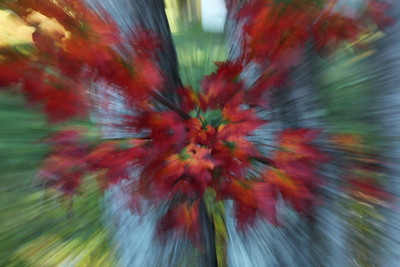 Red maple leaves with zoom, Maine