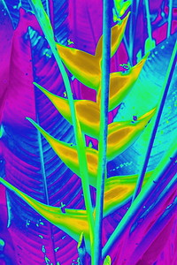 Heliconia in Yellow
