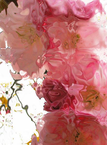 'cherry blossoms'