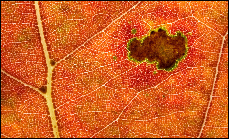 <center>Red Leaf Abstract (Oasis), #6626</center>
