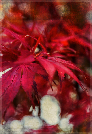 The Effect of Wind on Japanese Maple Leaves copy