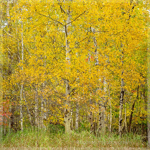 Primary-A Yellow Wood