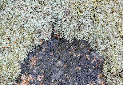 Reindeer Moss on Granite