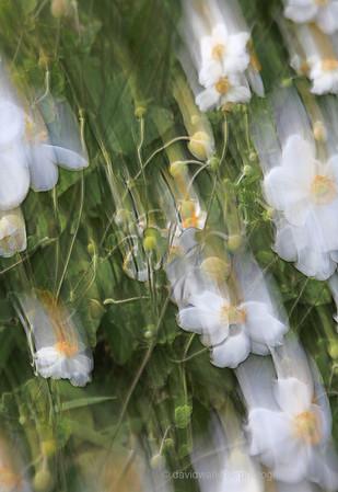 Imagine-White Anemone