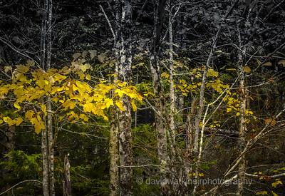 Swamp Maple near Little Long Pond