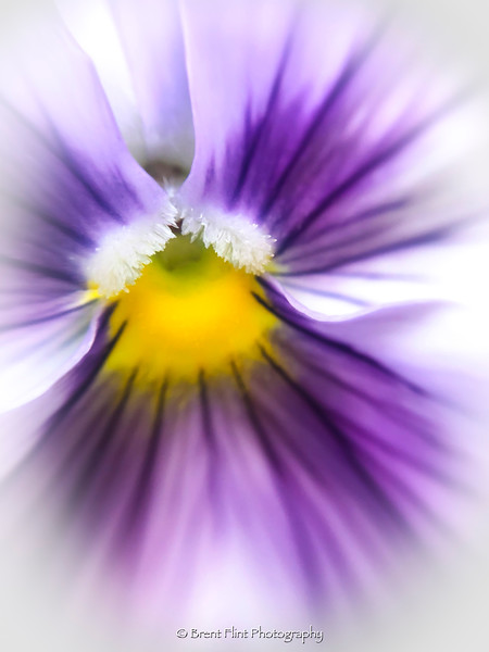 DF.4659 - pansy abstract