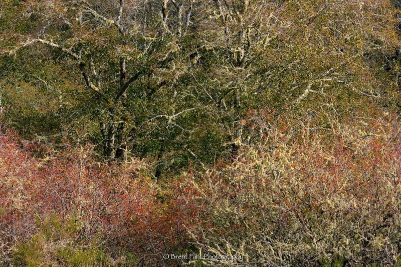 DF.653 - lichen covered tree/schrub patterns, Fort Stevens State Park, OR.