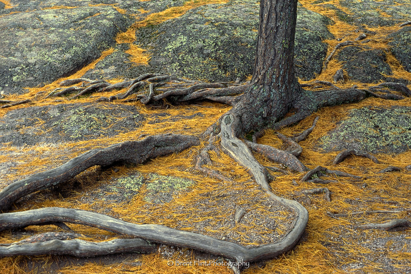S.3081 - white pine roots spread out on rock, Shovel Point, Tettegouche State Park, MN.