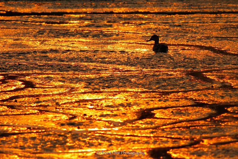 DF.4791 - duck on mudflat with sun reflection, Turnbull National Wildlife Refuge, WA.