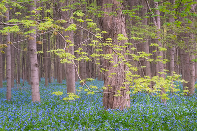Sentinels in a sea of bluebells