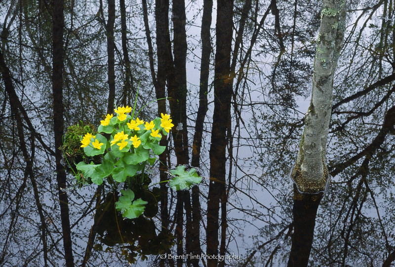 S.3651 - marsh marigold and forest reflections, Itasca County, MN.