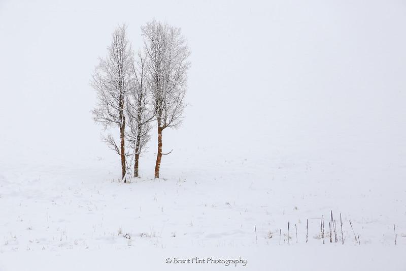 DF.4471 - trees on a snowy hillside, Spokane County, WA.