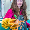 "Fisheries major Christy Howard inspects one of the immature king crabs being kept for study at UAF's Lena Point facility near Juneau.  <div class=""ss-paypal-button"">Filename: AAR-14-4058-31.jpg</div><div class=""ss-paypal-button-end"" style=""""></div>"