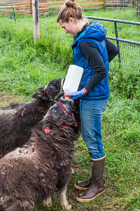 Research technician Emma Boone bottle-feeds a pair of hungry young muskox at UAF's Large Animal Research Station (LARS).  Filename: AAR-15-4608-10.jpg
