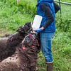 "Research technician Emma Boone bottle-feeds a pair of hungry young muskox at UAF's Large Animal Research Station (LARS).  <div class=""ss-paypal-button"">Filename: AAR-15-4608-10.jpg</div><div class=""ss-paypal-button-end""></div>"