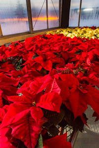 Holiday poinsettias thrive in the School of Natural Resources and Extension greenhouse.  Filename: AAR-14-4402-139.jpg