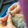 "Kate Wilsterman, a biology student at UC Berkeley, attaches a radio collar to an arctic ground squirrel before it's released back into the wild. Wilsterman helped conduct research on the squirrels at the Toolik Field Station in the summer of 2014.  <div class=""ss-paypal-button"">Filename: AAR-14-4215-34.jpg</div><div class=""ss-paypal-button-end""></div>"