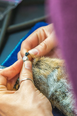Kate Wilsterman, a biology student at UC Berkeley, attaches a radio collar to an arctic ground squirrel before it's released back into the wild. Wilsterman helped conduct research on the squirrels at the Toolik Field Station in the summer of 2014.  Filename: AAR-14-4215-34.jpg