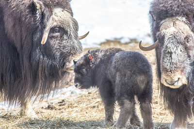 A 14-day-old muskox stays close to its mother and another adult at UAF's Large Animal Research Station.  Filename: AAR-13-3821-37.jpg
