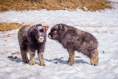 A pair of 14-day-old muskoxen stay close to their mothers at UAF's Large Animal Research Station.  Filename: AAR-13-3821-177.jpg
