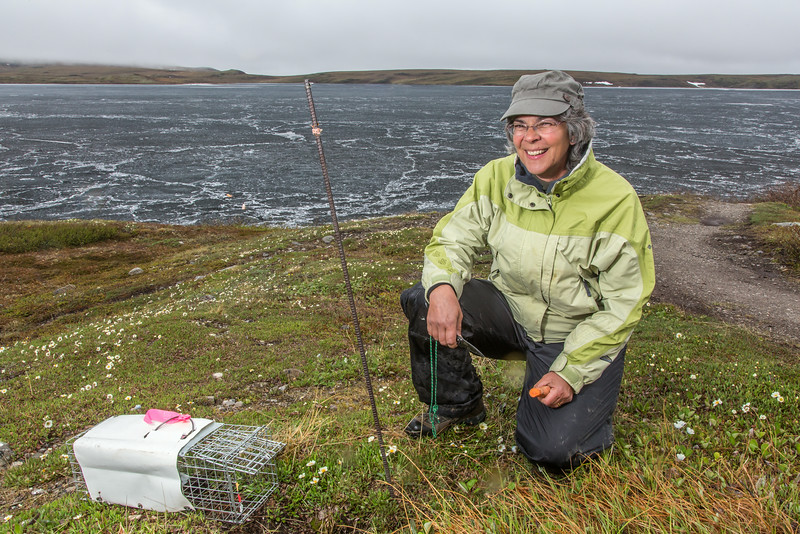 "Jeanette Moore, a research professional with UAF's Institute of Arctic Biology, baits a trap to capture an arctic ground squirrel near the Toolik Field Station on Alaska's north slope.  <div class=""ss-paypal-button"">Filename: AAR-14-4216-056.jpg</div><div class=""ss-paypal-button-end""></div>"
