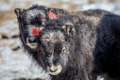 A pair of 14-day-old muskoxen stay close to their mothers at UAF's Large Animal Research Station.  Filename: AAR-13-3821-219.jpg
