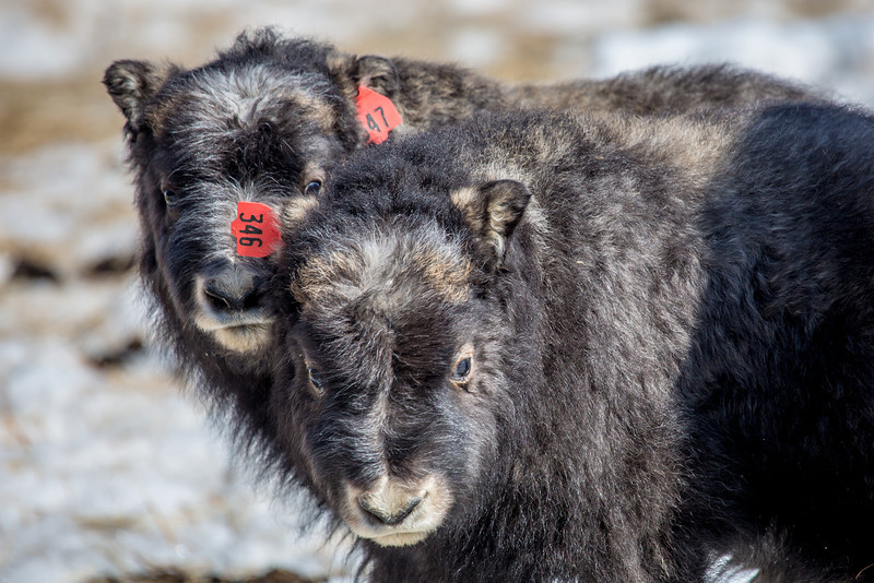 """A pair of 14-day-old muskoxen stay close to their mothers at UAF's Large Animal Research Station.  <div class=""""ss-paypal-button"""">Filename: AAR-13-3821-219.jpg</div><div class=""""ss-paypal-button-end"""" style=""""""""></div>"""