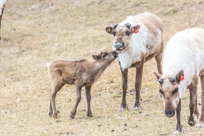 A newborn reindeer follows its mother around the pen at UAF's Large Animal Research Station.  Filename: AAR-14-4174-172.jpg