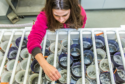 Fisheries major Christy Howard monitors the water temperature in tanks holding immature king crabs being kept for study at UAF's Lena Point facility near Juneau.  Filename: AAR-14-4058-44.jpg