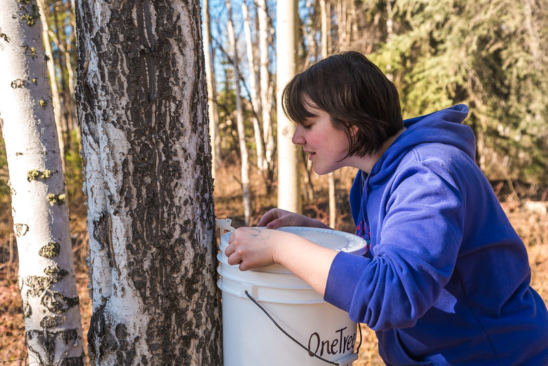 """Nicole Dunham, a coordinator with OneTree Alaska, collects birch sap from a tree behind the chancellor's residence on the UAF campus. OneTree Alaska is an education and outreach program of the University of Alaska Fairbanks School of Natural Resources and Extension.  <div class=""""ss-paypal-button"""">Filename: AAR-16-4874-069.jpg</div><div class=""""ss-paypal-button-end""""></div>"""