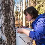 Nicole Dunham, a coordinator with OneTree Alaska, collects birch sap from a tree behind the chancellor's residence on the UAF campus. OneTree Alaska is an education and outreach program of t ...